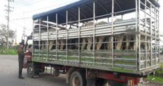 El ganado incautado fue dejado a disposición de las autoridades competentes