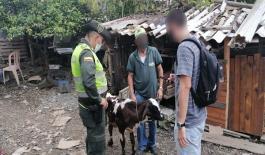 Incautado bovino en Santa Rosa de Cabal