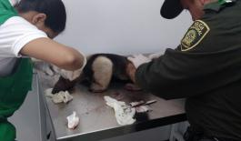 veterinarios tratan heridas de oso hormiguero