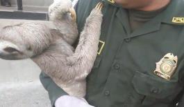 Rescatado oso perezoso en Puerto Asís