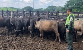 Caen-búfalos-de-contrabando-en-Codazzi
