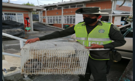 El grupo de protección ambiental logró la incautación de una Zarigueya especie con un valor ecológico total de $ 4.140.580